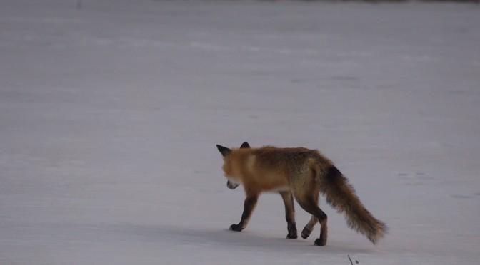 Fox walking away