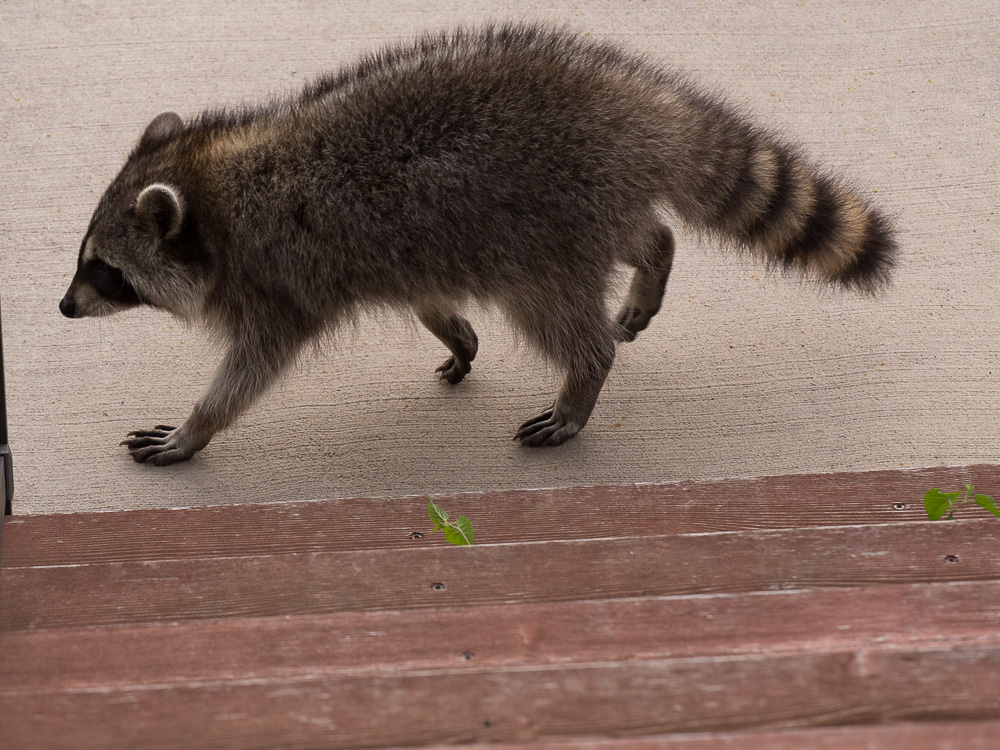 raccoon-6